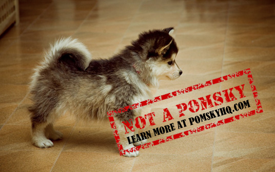 Pomsky Headquarters: Your Source for Pomsky Information
