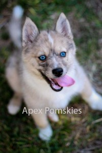 pomskypuppies10weeks