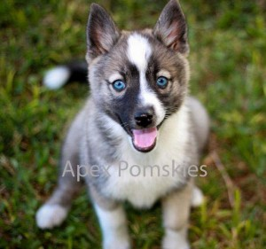 pomskypuppies2